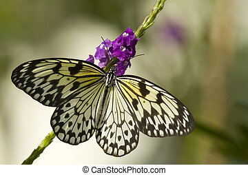 papillon, nymphe, baum