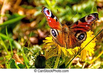 papillon, paon, fleur, pissenlit