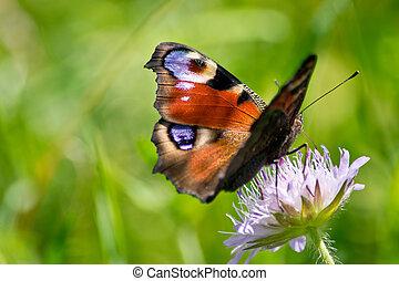 papillon, paon, summer., fleur