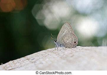 papillon, peu