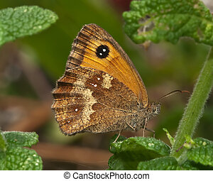 papillon, portier