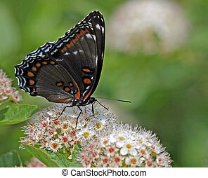 papillon, pourpre, alimentation, red-spotted