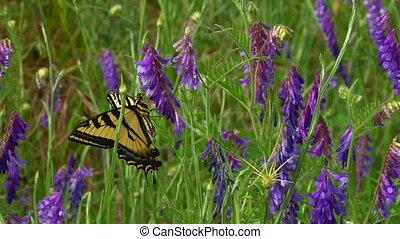 papillon, pourpre, magnifique, lupin