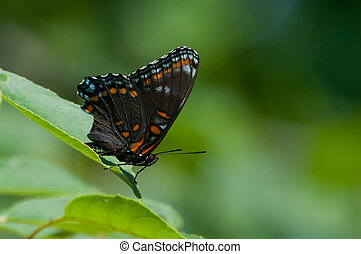 papillon, pourpre, red-spotted