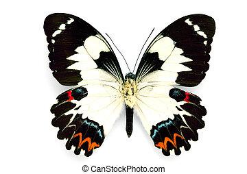 papillon, reihe, schöne , -, selten