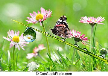 papillon, rosée