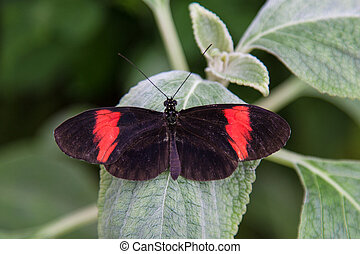 papillon, rouge noir