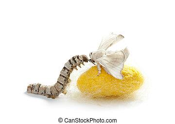 papillon, soie, ver soie, ver, trois, cocon, étapes