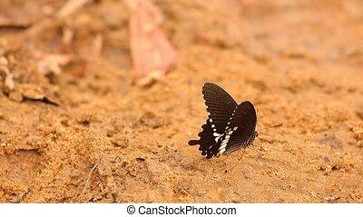 papillon, spicebush, définition, haut haut, swallowtail, fin
