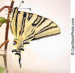 papillon, swallowtail, brindille, vieux monde