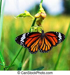 papillon tigre, commun
