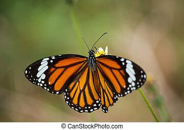 papillon, tigre, fleurs, nectar, boissons