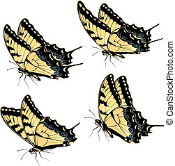 papillon tigre, swallowtail