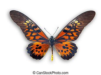 papillon, weißes, freigestellt, rotes