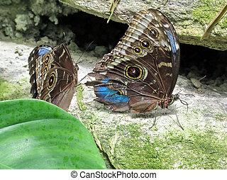 papillons, 2016, niagara, commun, morpho