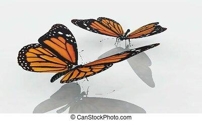 papillons monarque, danse