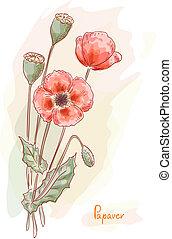 papoula vermelha, (papaver)., aquarela, style.