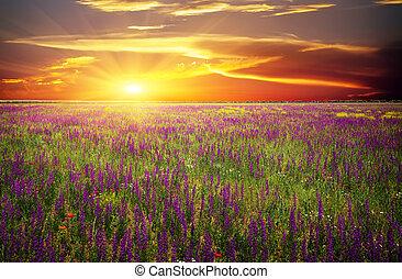 papoulas, contra, flores violetas, sol, capim, campo, vermelho