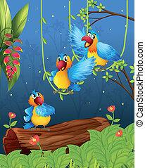 pappagalli, tre, colorito