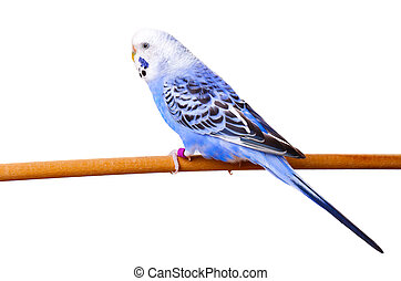 pappagallino ondulato, su, ramo, isolato, bianco, fondo