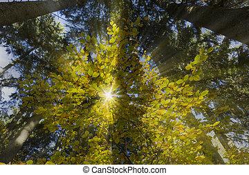 paprsek, slunit se, list, strom, podzim, buk