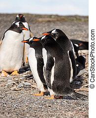 papua, par, seaside, pingvin
