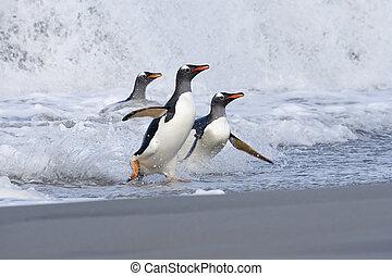 papua), pingüinos, (pygoscelis, gentoo