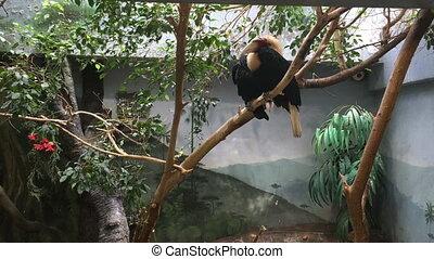 Papuan hornbill sitting on tree branch