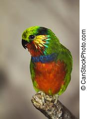 papuga, barwny, ptak