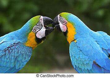 papuga, ptak