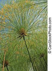 Papyrus - Bigodi Swamps - Uganda - Papyrus - Bigodi Wetlands...