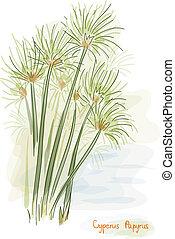 papyrus, plant., (cyperus, papyrus)