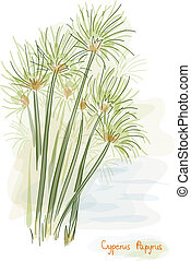 Papyrus plant. (Cyperus Papyrus) Watercolor style. Vector...