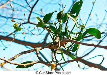 parásito, rama, arbusto, árbol, muérdago, parasitario, muérdago, árbol, planta