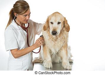 par, écoute, à, a, chien, vétérinaire, doré