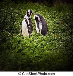 par, afrikansk, pingvin