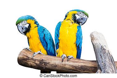 par, blue-yellow, papagaios, sentar, uma filial, isolado