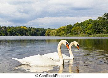 par, cisnes, lago