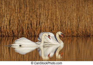 par, de, blanco, aves, flotar, en, el, lago