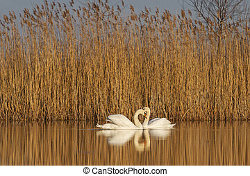 par, de, cisnes, en, salida del sol, ., de, amor