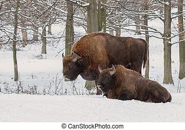 par, de, europeu, bisonos, bisonte, bonasus, em, floresta,...