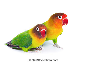 par, de, lovebirds