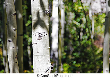 par, forêt aspen