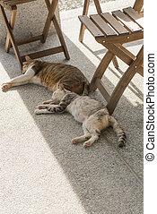 par, gato doméstico
