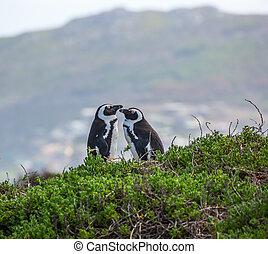 par, kærlig, pingvin