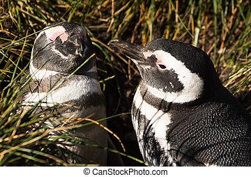 par, magellan, constitutions, pingvin