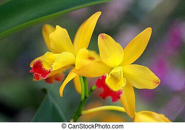 par, orquídea, amarela, natureza