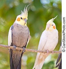 par, papegøjer