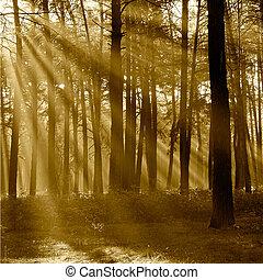 par, rayons, arbres, saison, sun's, forêt, pin, automne, ...