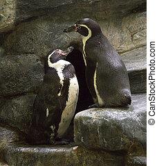 par, rock., pingüins
